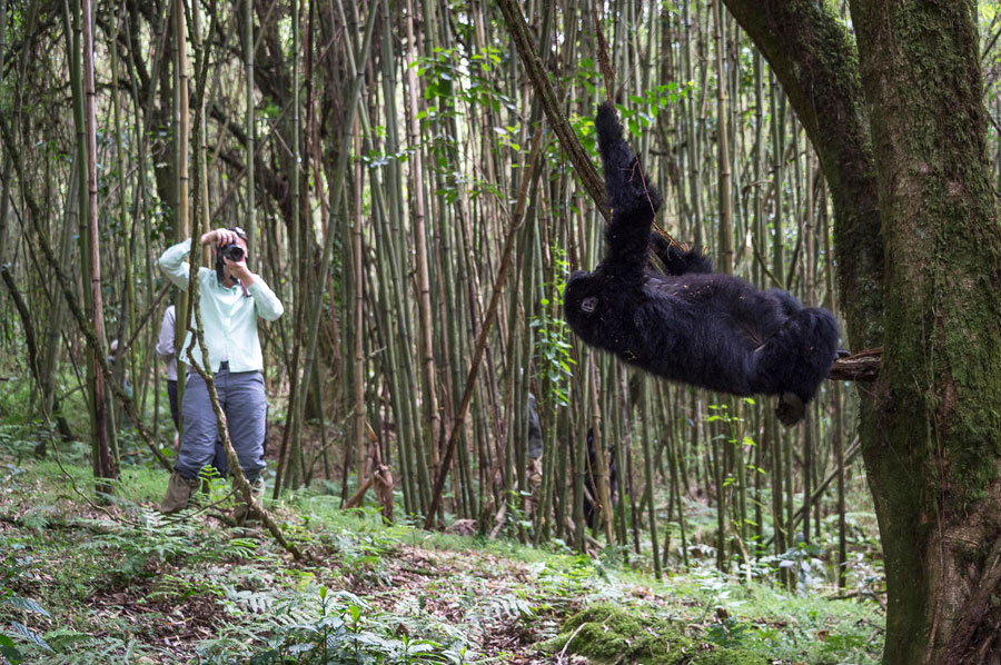 Le Safaris Gorillas