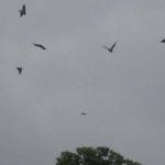Envol d'une colonie de chauves-souris